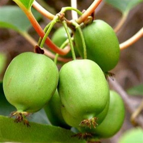 ISSAI Arctic Kiwi For Sale Online | The Tree Center