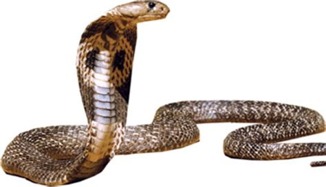 SNAKES a source of strength, courage, wisdom and virility