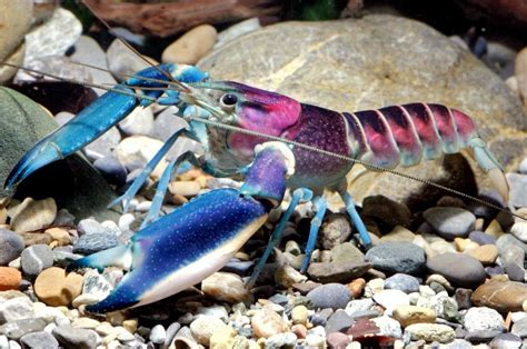 New Colorful Species of Freshwater Crayfish Identified | CFLAS