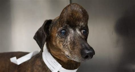 Dachshund With Huge Tumor In Skull Now Cancer Free Thanks