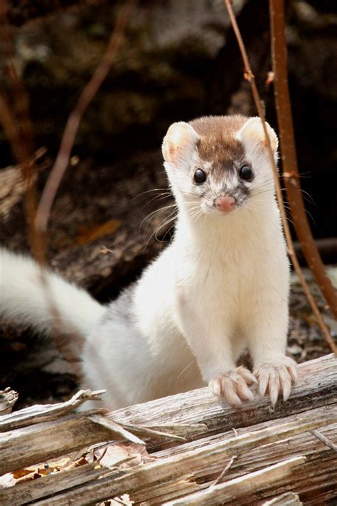 Short-tailed Weasel (Mustela erminea)   The Short-tailed
