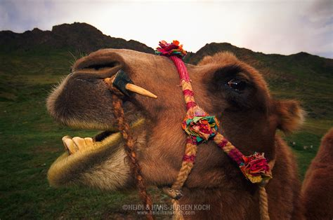 Camels and Nomads in Mongolia | Heidi & Hans-Juergen Koch