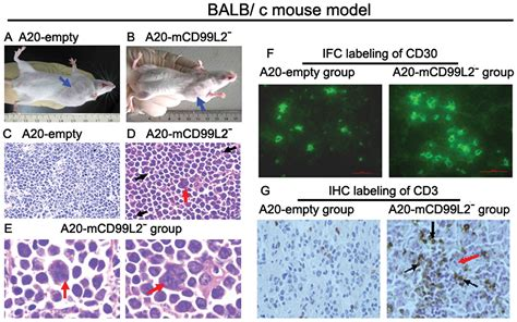 Effect of shRNA targeting mouse CD99L2 gene in a murine B