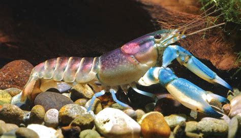 These Blue And Purple Crayfish From Indonesia Are Just