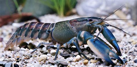 New 'Galaxy' Crayfish Discovered In Indonesia Has A Nebula