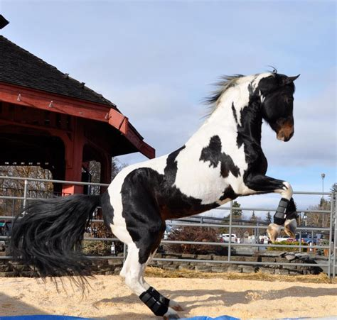 """""""Transfer The Funds"""", APHA Black Tovero   Dragonwood Horse"""